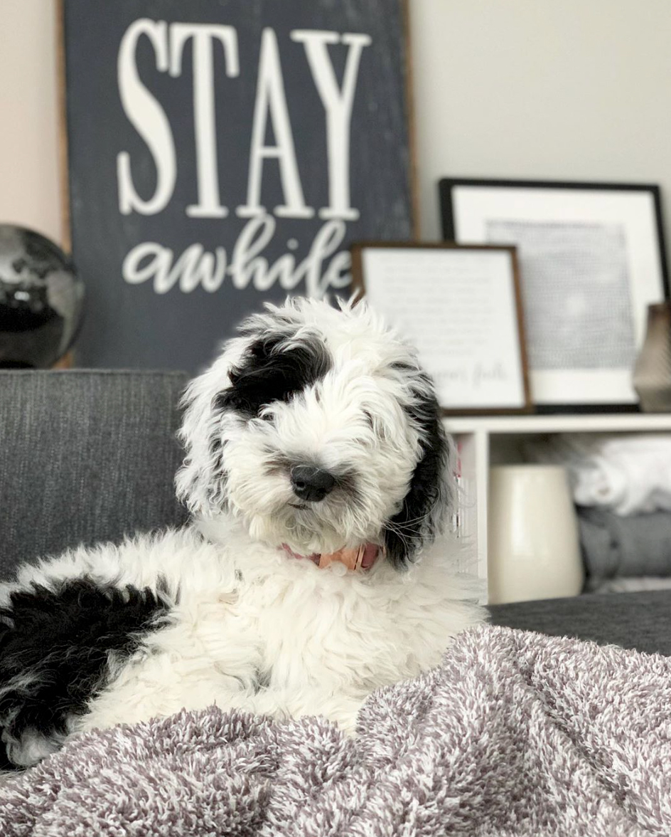Billie%20the%20Sheepadoodle